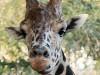 IMG_9139 Giraffe