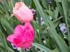 IMG_4157 tulips