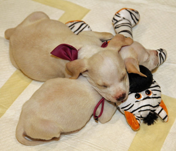 Snoozing puppies up for adoption