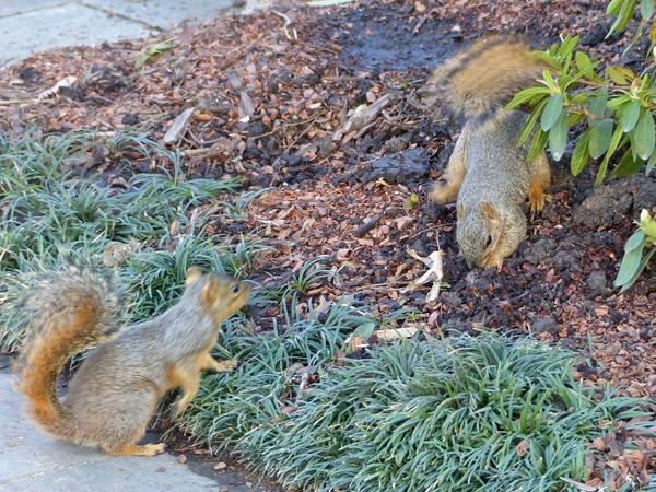 Dallas Arboretum squirrels