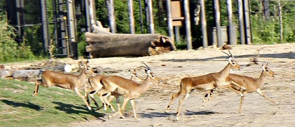 High-stepping impalas