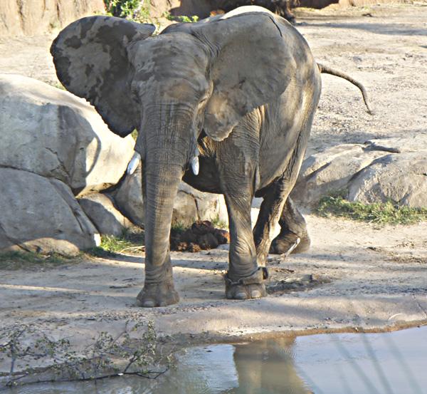 Dallas Zoo elephant (File photo)