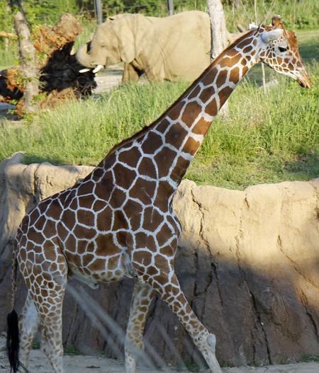 Dallas Zoo elephant and giraffe