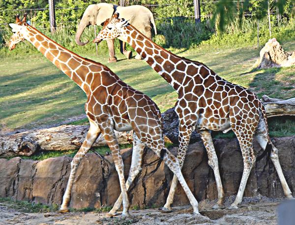 Dallas Zoo giraffes