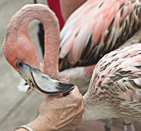 Dallas Zoo flamingo (File photo)