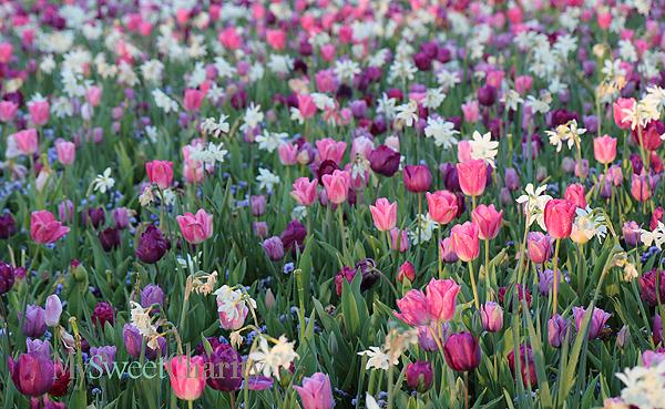 Dallas Bloom's tulips