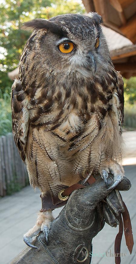 Kruger the Eurasian eagle owl