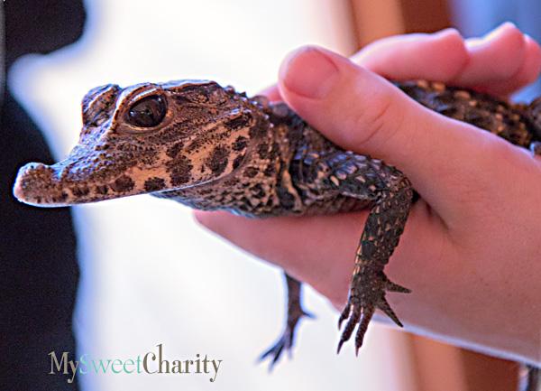 Dallas Zoo Ambassador alligator
