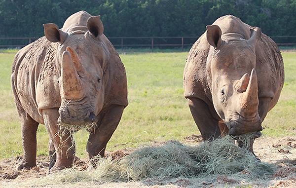 White rhinos*