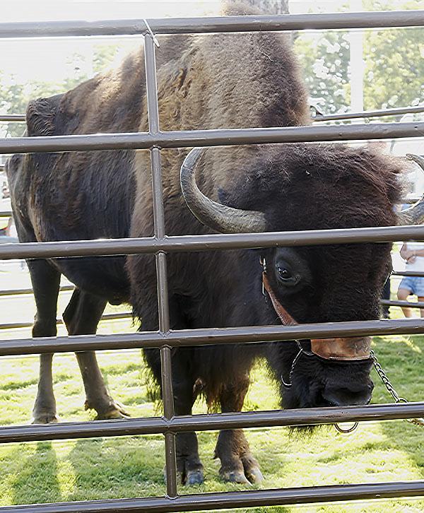 Mo the Buffalo*